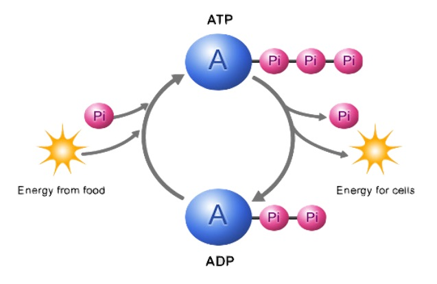 overpress-atp-allenamento-vie-energetiche-metabolismo-metaboliche-exerceo-fitness-glucosio-glucose-adp-acido-piruvico-piruvic-energy