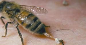 api pungono