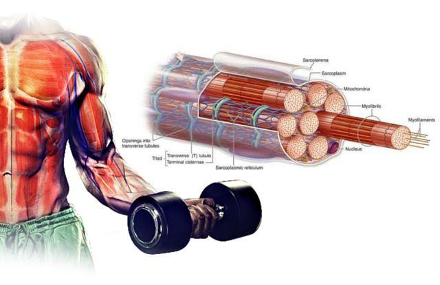 muscolo-muscolatura-sarcomero-fibra-overpress-exerceo