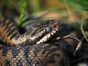 Vipera